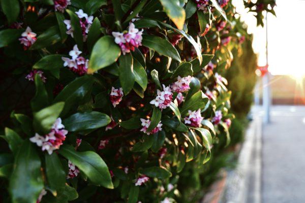 """庭木として人気のある""""春の花木""""はどれ!?ジンチョウゲ・アセビ・ハナミズキ・ハナズオウの見分け方を紹介!"""